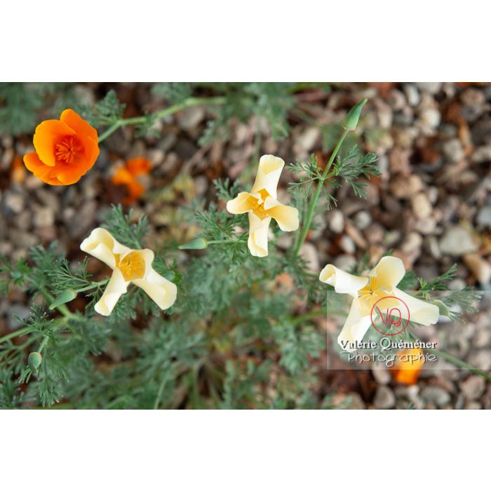 Fleurs blanches de pavot de Californie (eschscholzia californica alba) - Réf : VQF&J-10433 (Q3)