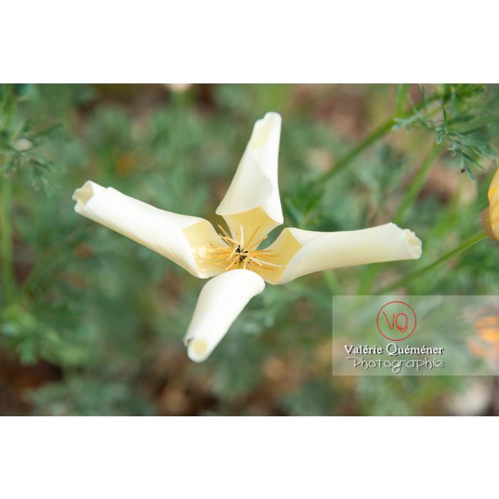 Fleur blanche de pavot de Californie (eschscholzia californica alba) - Réf : VQF&J-10434 (Q3)