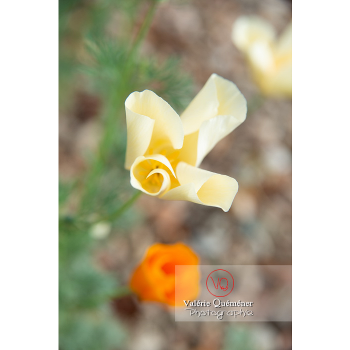 Fleur blanche de pavot de Californie (eschscholzia californica alba) - Réf : VQF&J-10435 (Q3)