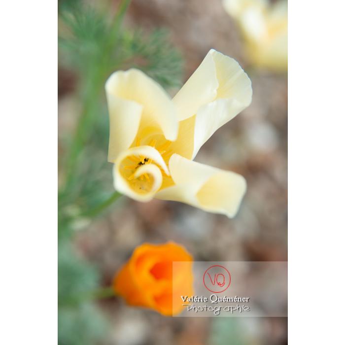 Fleur blanche de pavot de Californie (eschscholzia californica alba) - Réf : VQF&J-10436 (Q3)