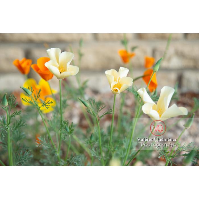 Fleurs trois couleurs de pavot de Californie (eschscholzia californica) - Réf : VQF&J-10438 (Q3)