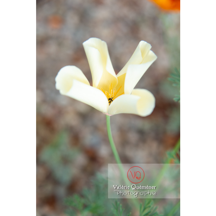 Fleur blanche de pavot de Californie (eschscholzia californica alba) - Réf : VQF&J-10446 (Q3)