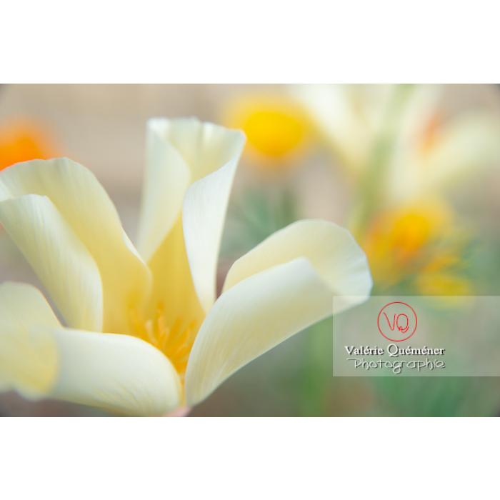 Fleur blanche de pavot de Californie (eschscholzia californica alba) - Réf : VQF&J-10448 (Q3)