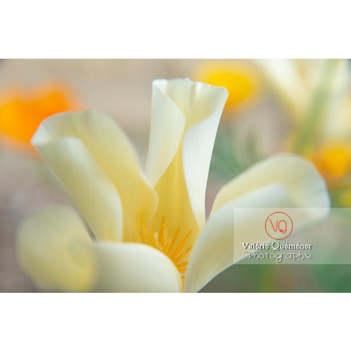 Fleur blanche de pavot de Californie (eschscholzia californica alba) - Réf : VQF&J-10449 (Q3)