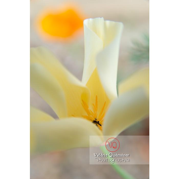Fleur blanche de pavot de Californie (eschscholzia californica alba) - Réf : VQF&J-10452 (Q3)