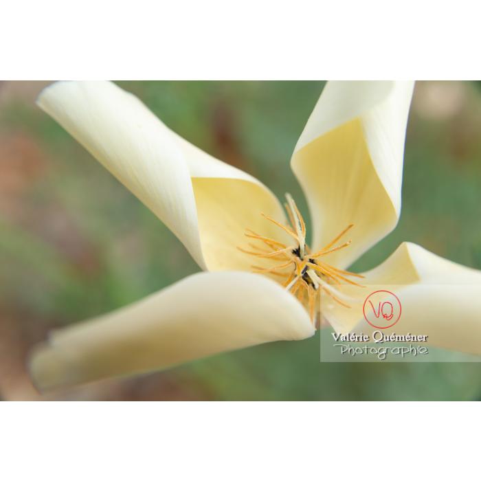 Fleur blanche de pavot de Californie (eschscholzia californica alba) - Réf : VQF&J-10454 (Q3)