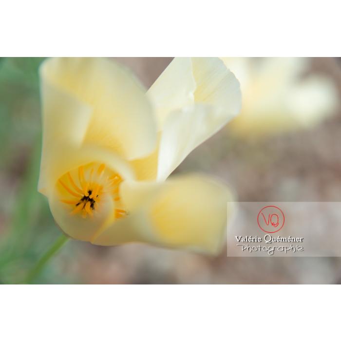 Fleur blanche de pavot de Californie (eschscholzia californica alba) - Réf : VQF&J-10455 (Q3)