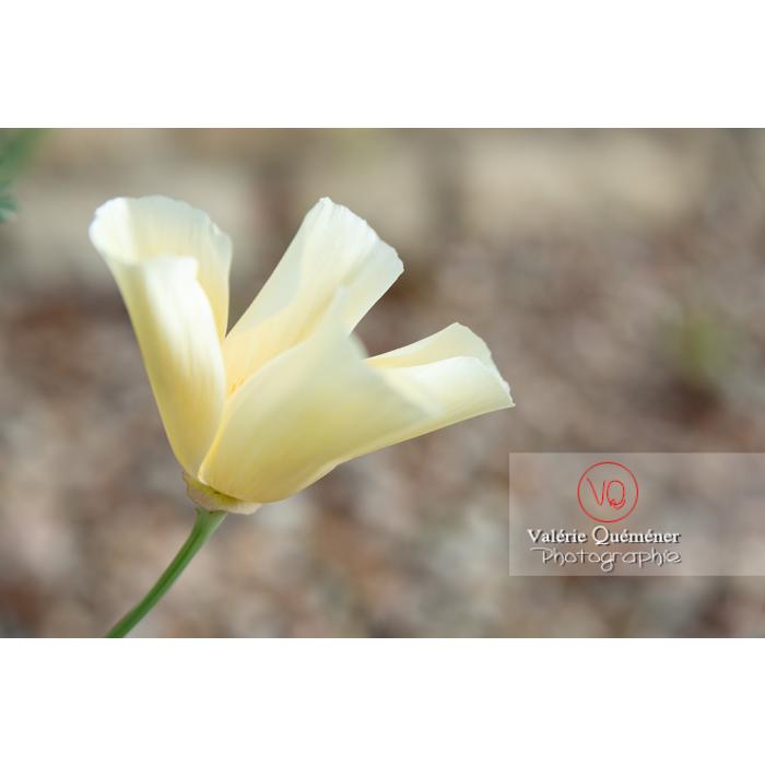 Fleur blanche de pavot de Californie (eschscholzia californica alba) - Réf : VQF&J-10457 (Q3)