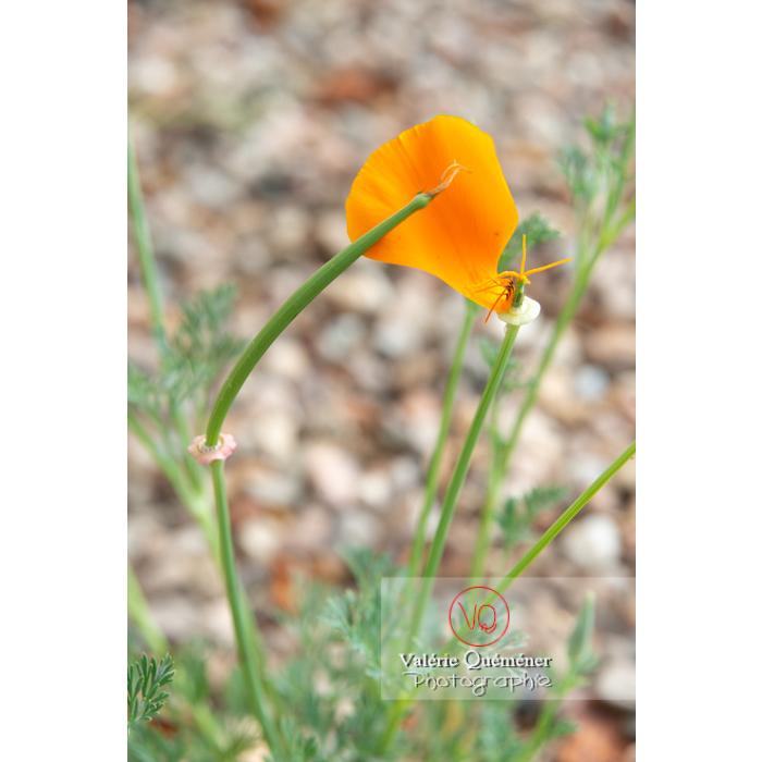 Fleur et fruit de pavot de Californie (eschscholzia californica alba) - Réf : VQF&J-10459 (Q3)