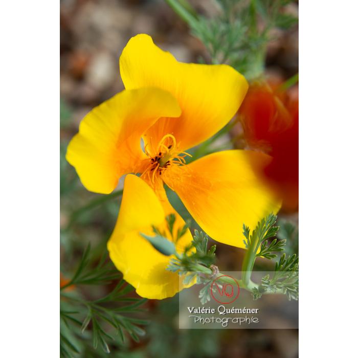 Fleur jaune de pavot de Californie (eschscholzia californica) - Réf : VQF&J-10461 (Q3)