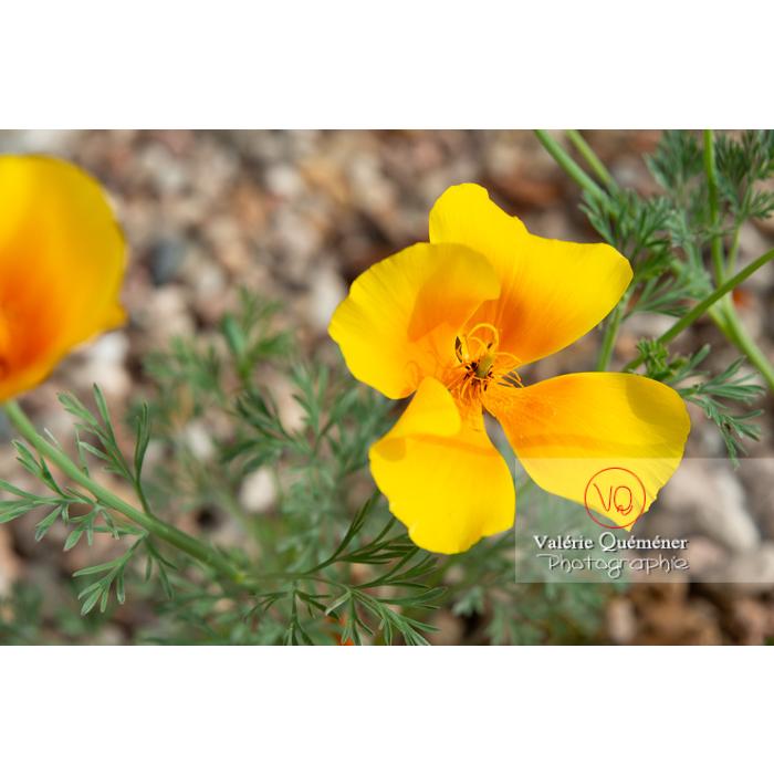 Fleur jaune de pavot de Californie (eschscholzia californica) - Réf : VQF&J-10462 (Q3)