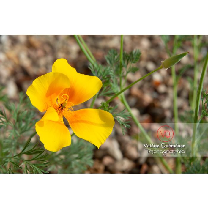 Fleur jaune de pavot de Californie (eschscholzia californica) - Réf : VQF&J-10463 (Q3)