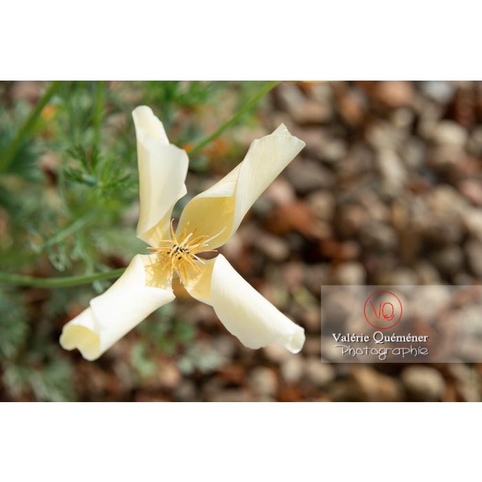 Fleur blanche de pavot de Californie (eschscholzia californica alba) - Réf : VQF&J-10465 (Q3)
