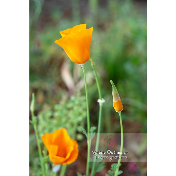 Bouton de fleur orange de pavot de Californie (eschscholzia californica) fleur et fruit - Réf : VQF&J-10478 (Q3)