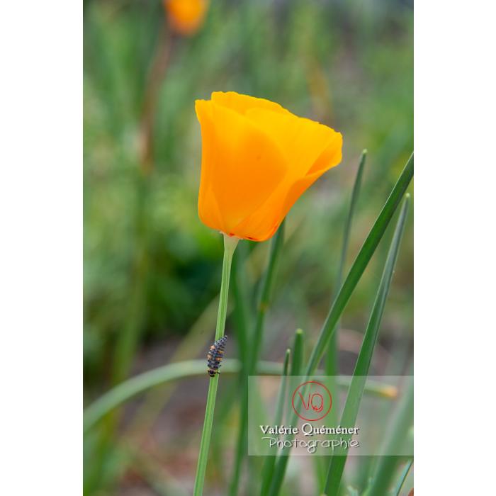 Larve de coccinelle sur une tige de pavot de californie (eschscholzia californica) - Réf : VQF&J-10522 (Q3)