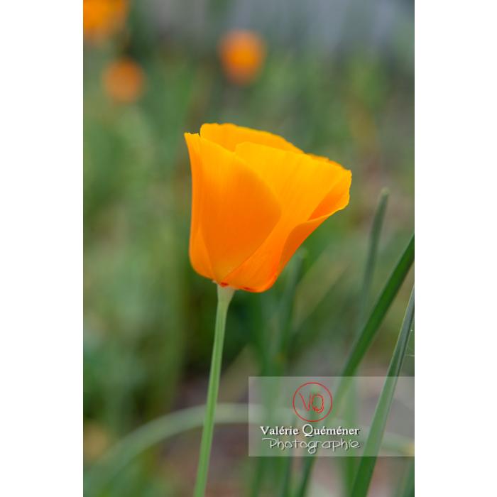 Fleur orange de pavot de Californie (eschscholzia californica) - Réf : VQF&J-10524 (Q3)
