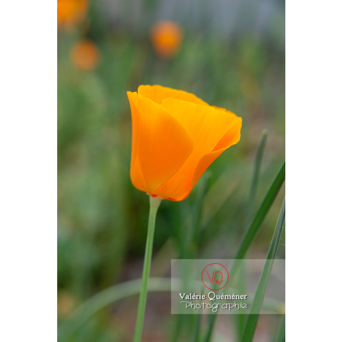 Fleur orange de pavot de Californie (eschscholzia californica) - Réf : VQF&J-10524 (Q3)