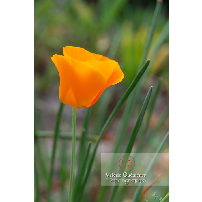 Fleur orange de pavot de Californie (eschscholzia californica) - Réf : VQF&J-10528 (Q3)