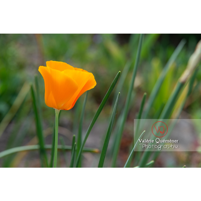 Fleur orange de pavot de Californie (eschscholzia californica) - Réf : VQF&J-10531 (Q3)