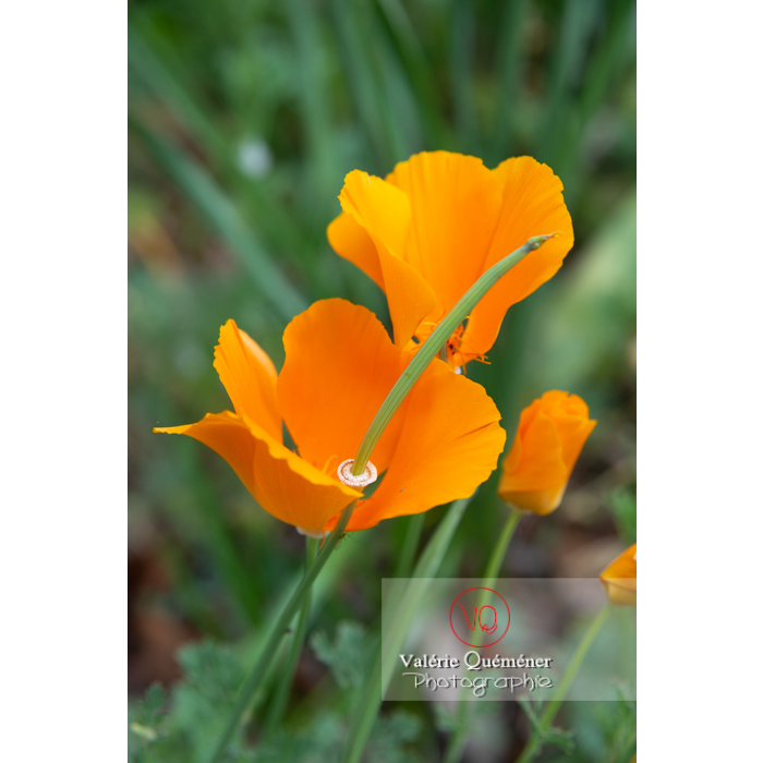 Fleur et fruit de pavot de Californie (eschscholzia californica) - Réf : VQF&J-10532 (Q3)