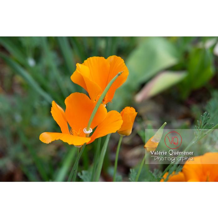 Fleur et fruit de pavot de Californie (eschscholzia californica) - Réf : VQF&J-10534 (Q3)