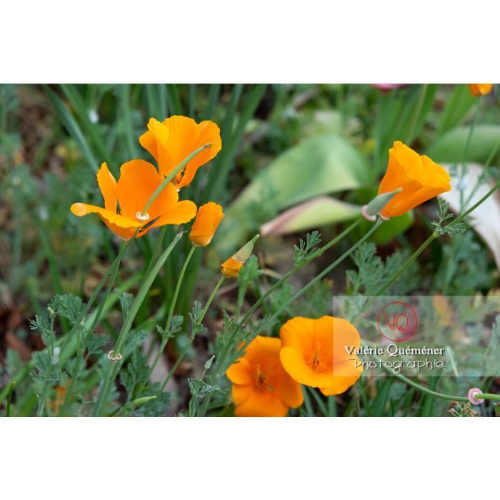 Différentes étapes de fleur de pavot de Californie (eschscholzia californica) - Réf : VQF&J-10535 (Q3)
