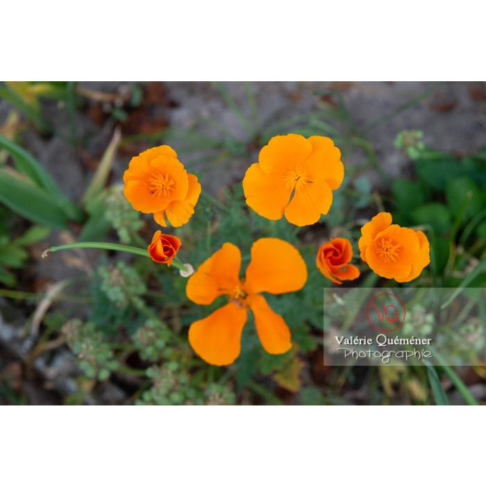 Différentes étapes de fleur de pavot de Californie (eschscholzia californica) - Réf : VQF&J-10536 (Q3)