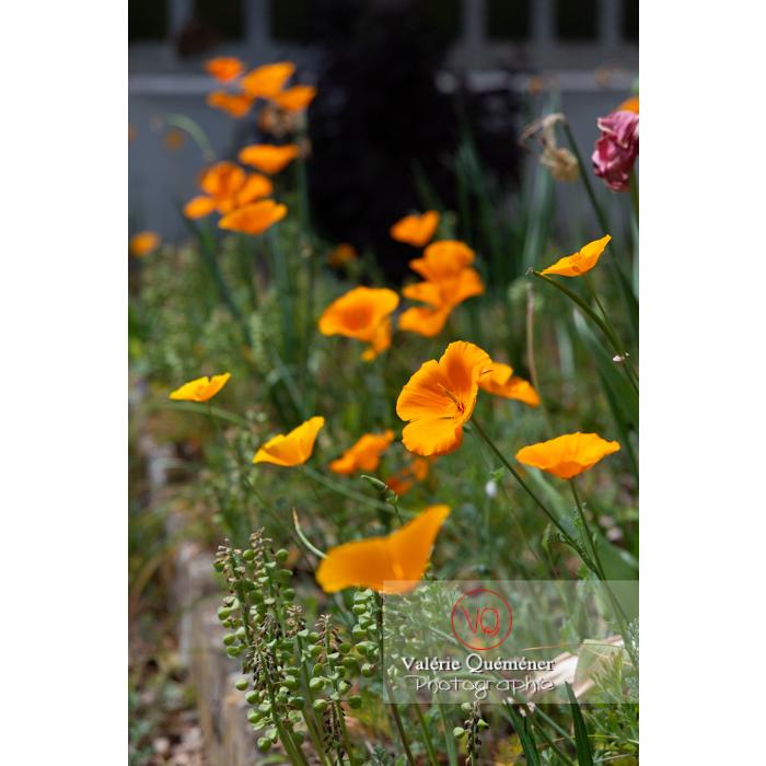 Fleurs oranges de pavot de Californie (eschscholzia californica) - Réf : VQF&J-10588 (Q3)