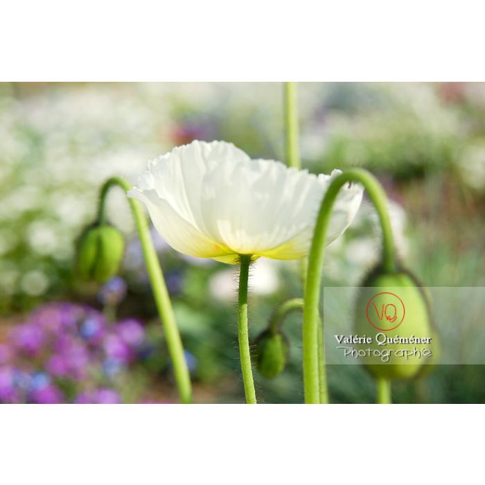 Fleur de pavot d'Islande blanc - papaver nudicaule - Réf : VQF&J-1060 (Q1)