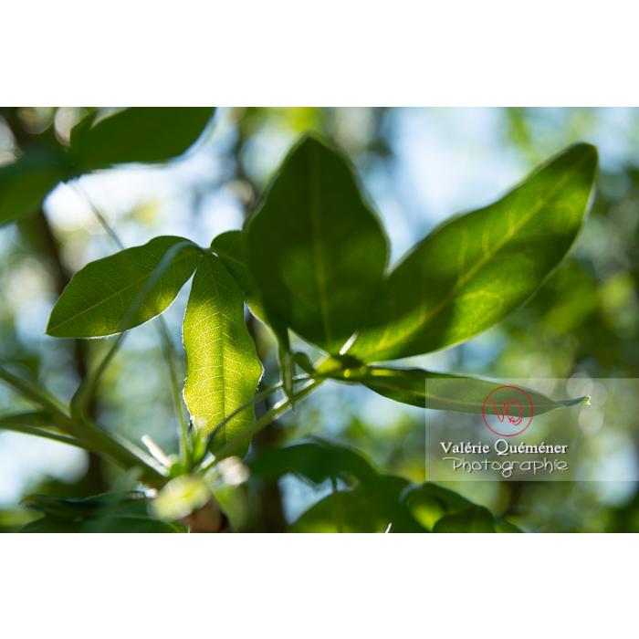 Feuille d'un cytise (laburnum sp) - Réf : VQF&J-10628 (Q3)