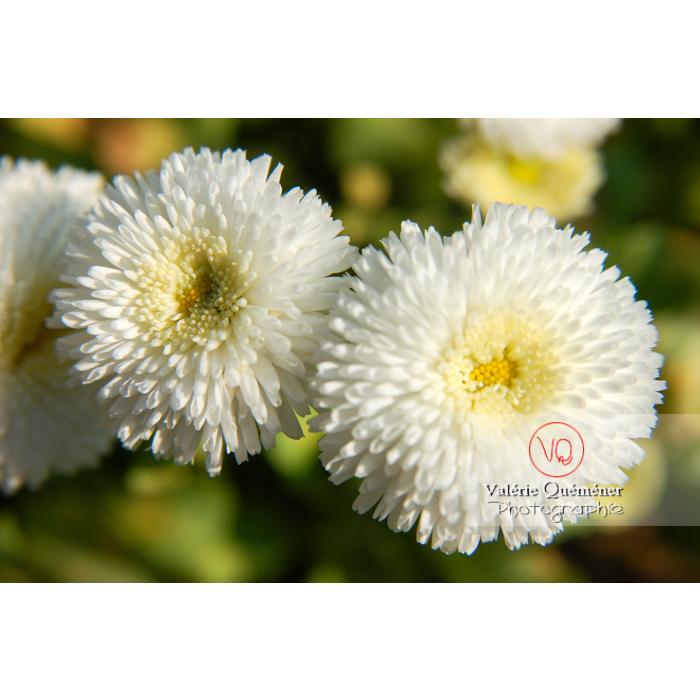Pâquerettes pompon blanc - Réf : VQF&J-1064 (Q1)