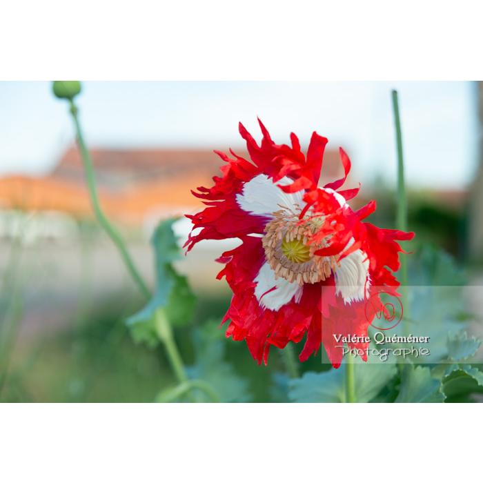 Pavot somnifère danois ou des jardins - papaver somniferum - Réf : VQF&J-10693 (Q3)