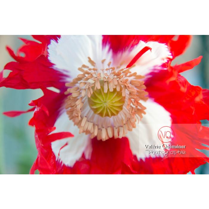 Cœur de pavot somnifère danois ou des jardins - papaver somniferum - Réf : VQF&J-10696 (Q3)