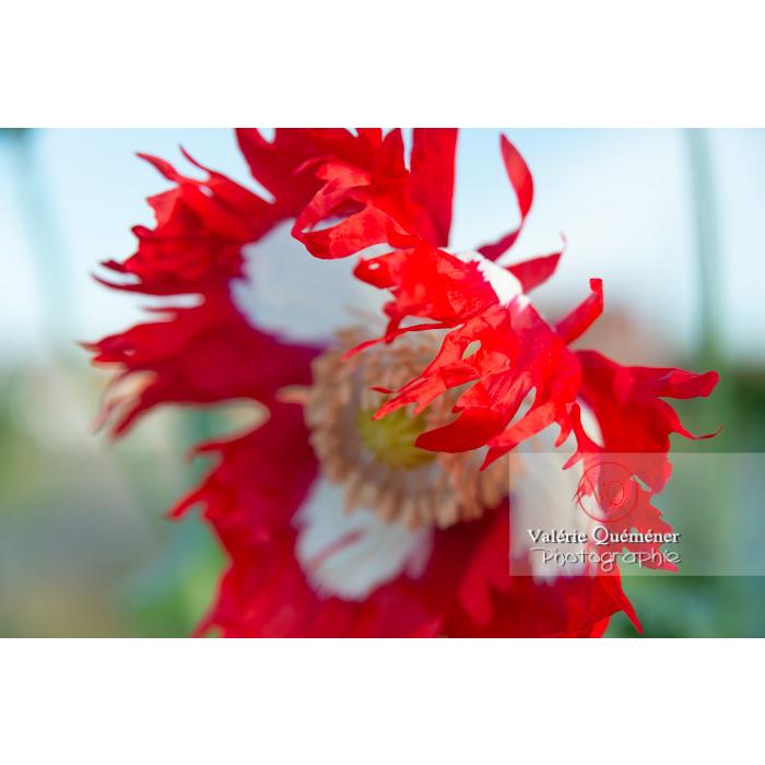 Détail pétales frangés d'un pavot somnifère danois ou des jardins - papaver somniferum - Réf : VQF&J-10697 (Q3)