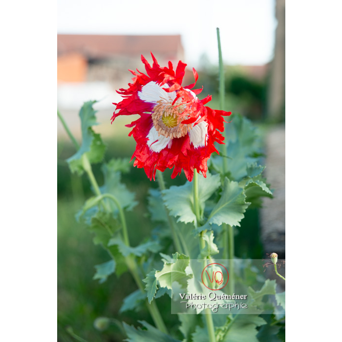 VQF&J-10698-pavot-somnifere-danois-des-jardins-blanc_papaver-somniferum.png