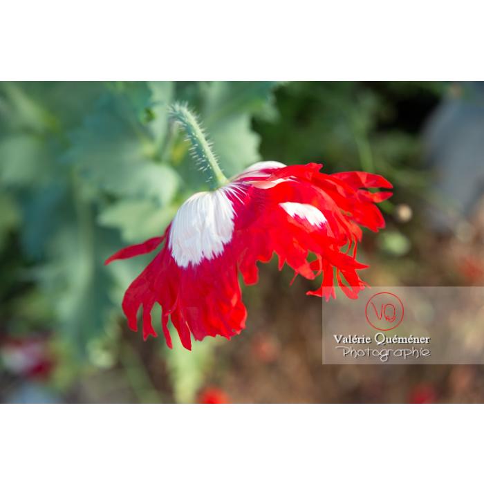 Détail pétales frangés d'un pavot somnifère danois ou des jardins - papaver somniferum - Réf : VQF&J-10700 (Q3)