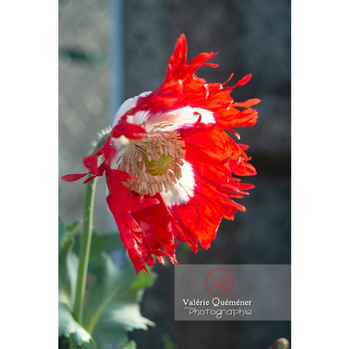 Pavot somnifère danois ou des jardins - papaver somniferum - Réf : VQF&J-10703 (Q3)