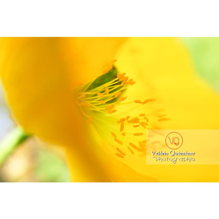 Fleur jaune de pavot - Réf : VQF&J-1071 (Q1)