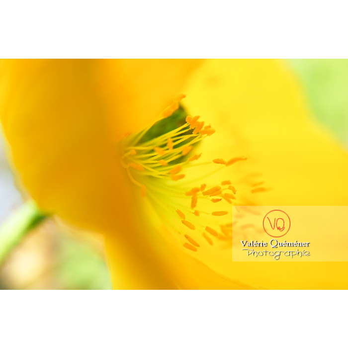Étamines de pavot d'Islande jaune - papaver nudicaule - Réf : VQF&J-1071 (Q1)