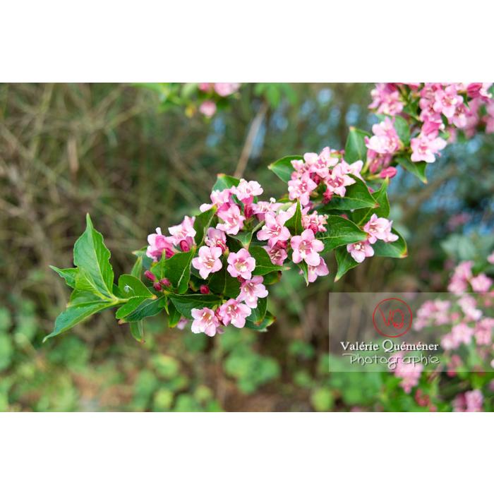 Branche de Weigelia en fleur (weigela sp) - Réf : VQF&J-10717 (Q3)
