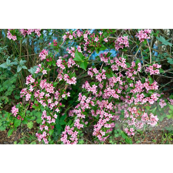 Branches de Weigelia en fleur (weigela sp) - Réf : VQF&J-10718 (Q3)