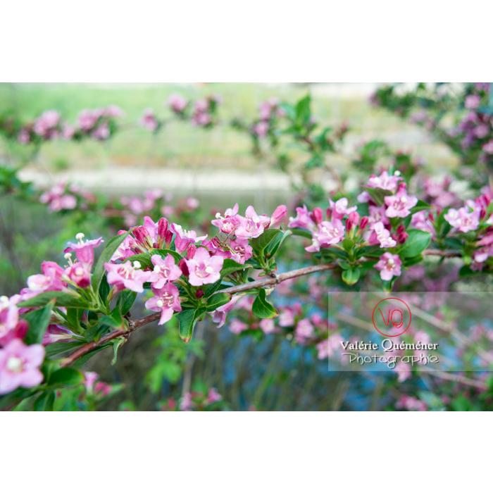 Branches de Weigelia en fleur (weigela sp) - Réf : VQF&J-10722 (Q3)