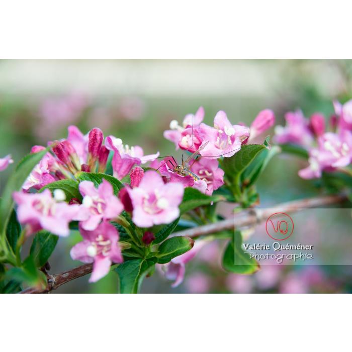 Fleurs de Weigelia (weigela sp) - Réf : VQF&J-10723 (Q3)