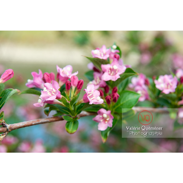 Fleurs de Weigelia (weigela sp) - Réf : VQF&J-10727 (Q3)