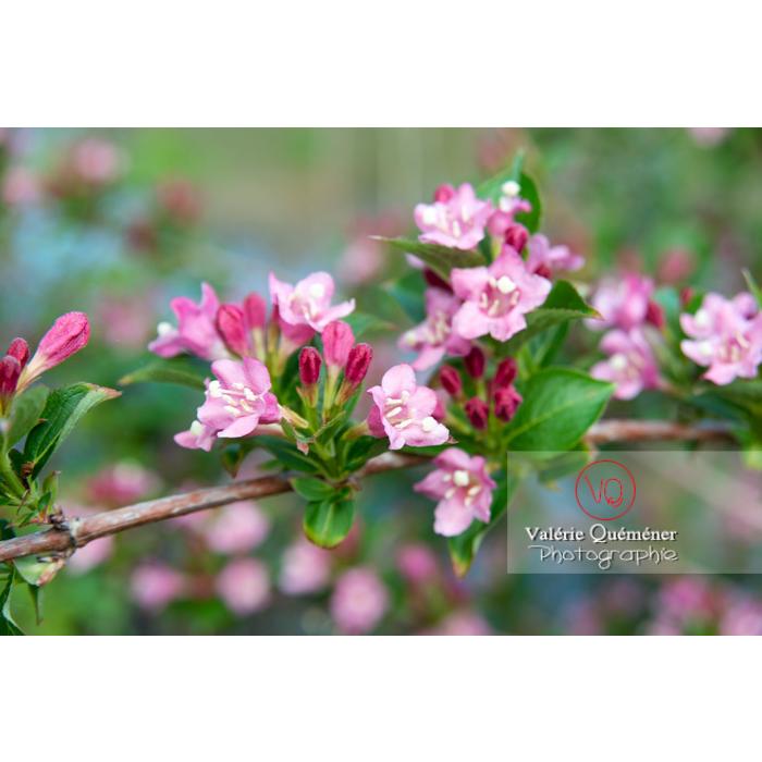 Fleurs de Weigelia (weigela sp) - Réf : VQF&J-10729 (Q3)