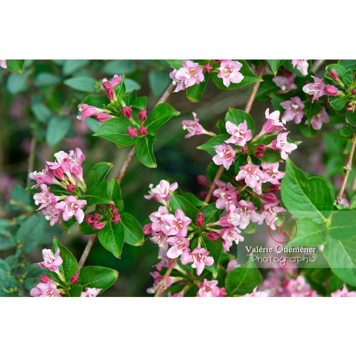 Weigelia en fleur (weigela sp) - Réf : VQF&J-10730 (Q3)