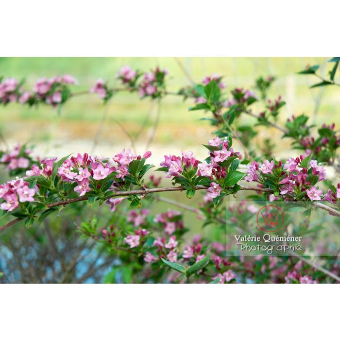 Branches de Weigelia en fleur (weigela sp) - Réf : VQF&J-10733 (Q3)