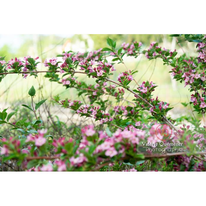 Branches de Weigelia en fleur (weigela sp) - Réf : VQF&J-10735 (Q3)