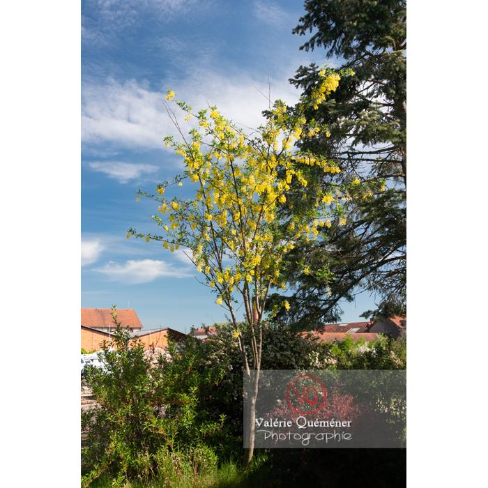 Arbre cytise en fleur (laburnum sp) - Réf : VQF&J-10761 (Q3)