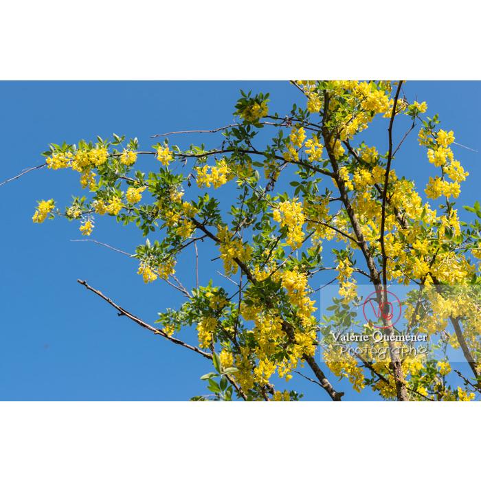Arbre cytise en fleur (laburnum sp) - Réf : VQF&J-10762 (Q3)